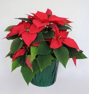 Poinsettia-975x1024